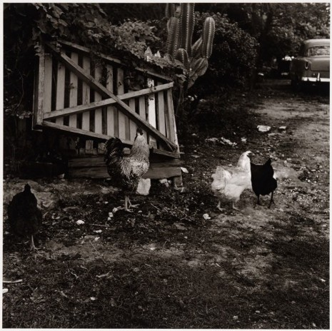 Peter Hujar, Chickens in a Barnyard, Key West, ca. 1957 , Galerie Buchholz