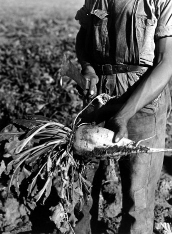 Arthur Rothstein, Sugar Beet before Topping, Adams County, Colo., 1939 , Howard Greenberg Gallery