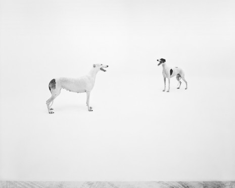 Simon Starling, Pedigree English Greyhounds, Valldemossa dell'Attimo Fuggente (Vera) and Kollaps Livets Dans (Victor) photographed at Four Studios, Mirafiori Car Plant, Turin, 2019, Casey Kaplan