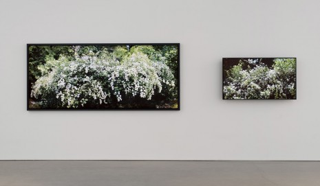 Scott McFarland, Spirea prunifolia, Bridal Wreath with Effects of Sunlight, 2014, Regen Projects