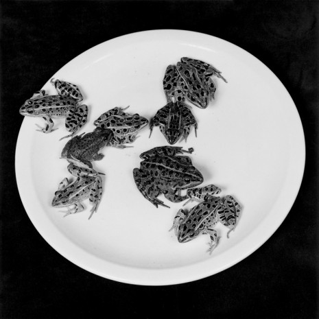 Robert Mapplethorpe, Frogs, 1984 , Alison Jacques Gallery