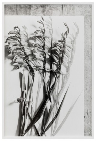 Lisa Oppenheim, Gladiolus, 1900/2019 (Version II), 2019   