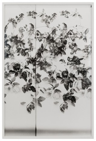 Lisa Oppenheim, Clematis, 1900/2019 (Version II), 2019   