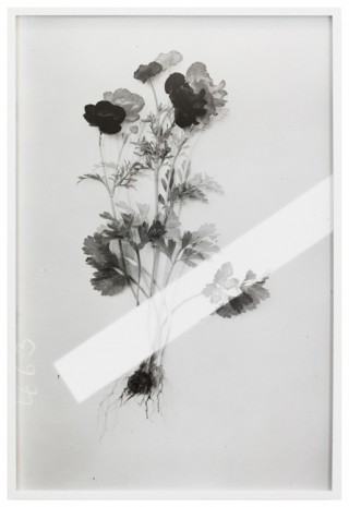 Lisa Oppenheim, Red Ranunculus, 1900/2019 (Version II), 2019   
