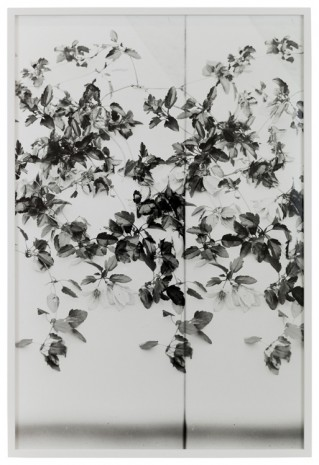 Lisa Oppenheim, Clematis, 1900/2019 (Version III), 2019   